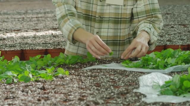 MS T/U woman planting seedlings in growth bed in nursery, RED R3D 4K