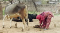MS Woman putting cow dung in container / Hasanpur, Mewat, Haryana, India