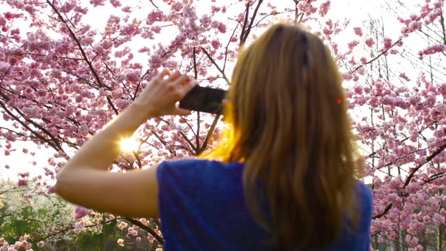 Woman taking pictures of blooming cherry tree at sunset