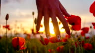 SLO MO Frau berühren Mohn Blumen in den Sonnenuntergang