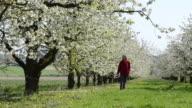 MS Woman walking through Cherry blossom field / Landshut, Bavaria, Germany