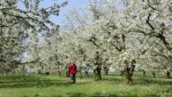WS Woman walking through Cherry blossom field / Landshut, Bavaria, Germany