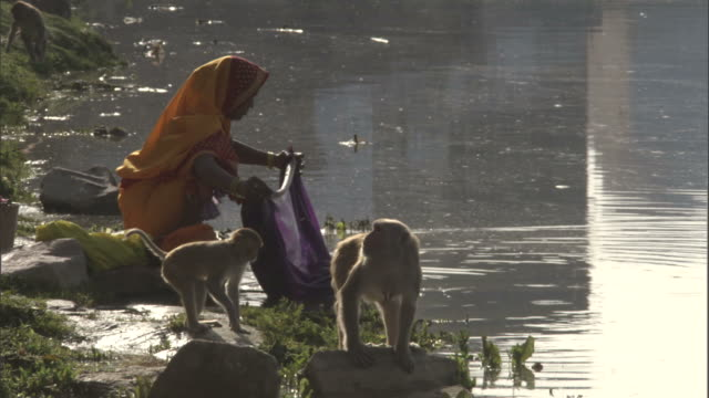 Woman washes clothes in river near Rhesus macaques, India Available in HD.