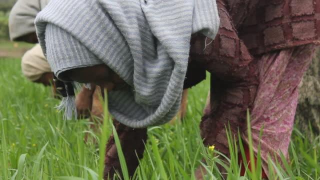 Woman weeding crop