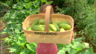 Woman with basket of organic cucumbers