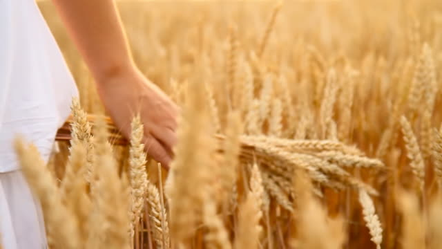 HD SLOW MOTION: Woman's Hand Touching Wheat