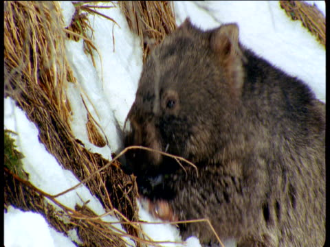 Wombat feeds on grass in snow, New South Wales, Australia