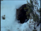 Wombat waddles out of its burrow in snowy Australian Alps, New South Wales, Australia