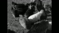 MONTAGE Women farming eggs and potatoes / Eriskay, Scotland, United Kingdom