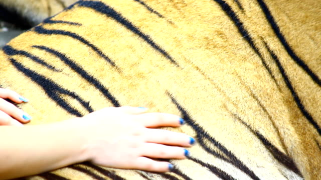 women hand touch tiger skin