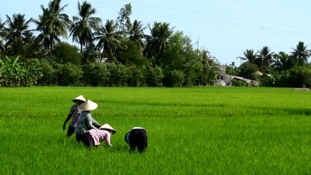 Women in planting Rice in Vietnam 1