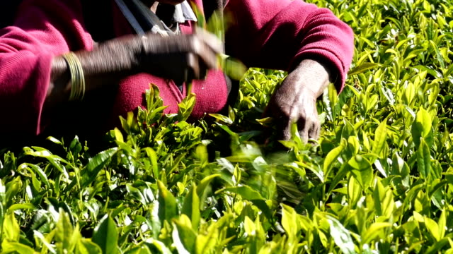 Women picking tea in Sri Lanka