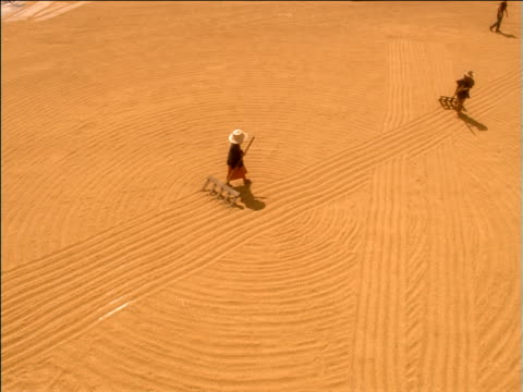 Women wearing sunhats rake lines through field of drying rice, Thailand