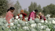 MS Women working in the poppy plantation / Rajasthan, India
