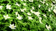 Wood Anemone, Anemone nemorosa, in spring, Hesse, Germany