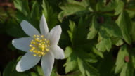 T/L Wood Anemone (Anemone nemorosa) flower turning to face sun - sun tracking, MCU, windy, UK woodland