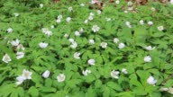 Wood anemone flowers, (Anemone nemorosain) in spring colours, English Woodland