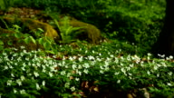 Wood anemone in the forest