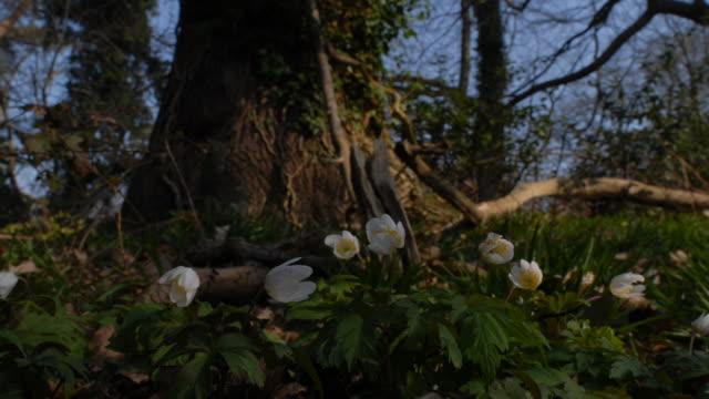 T/L Wood Anemone (Anemone nemorosa) low WA, UK woodland