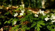 Wood Anemone on the forest floor