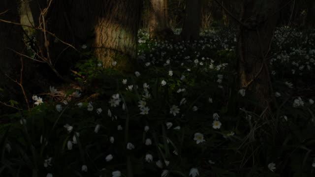 T/L Wood Anemone (Anemone nemorosa) WA, UK woodland