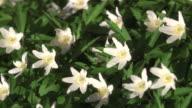 Wood anemones Sweden.
