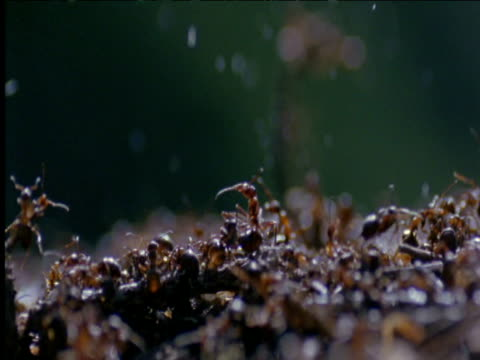 Wood ants on anthill spray formic acid in defence Switzerland