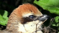 Woodchat Shrike falling asleep in the nest at Odaesan Mountain