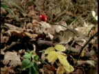 MS Woodmouse picking Rosehip