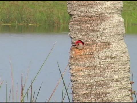 Woodpecker in palm trunk nest