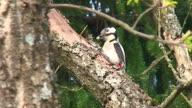 Woodpecker on the Oak Tree