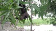 woolly monkey, Amazon, Peru