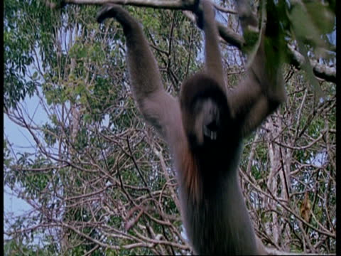 MS Woolly Monkey swinging from branches, South America