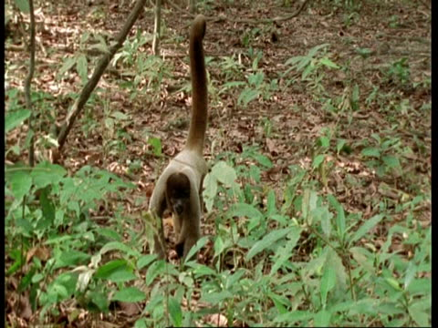 MS Woolly monkey walking through forest floor, sits by another monkey who walks away, South America