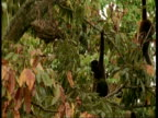 MS Woolly monkeys surrounding and hassling Sloth in tree, South America