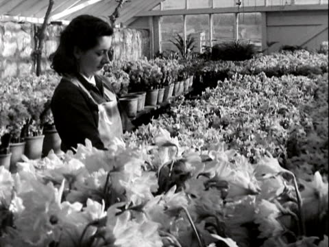 A worker at a plant nursery checks on the condition of daffodils in a greenhouse