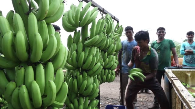 A worker catches hands of bananas cut from a stem during a harvest in Jalgaon Maharashtra India on Monday Oct 9 A worker uses a sickle to cut hands...
