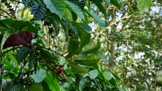 Worker Harvesting Robusta coffee.