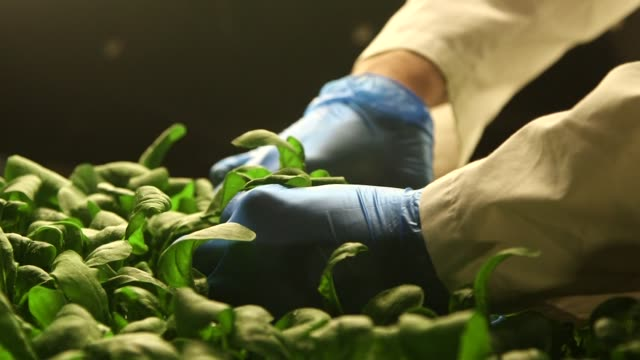 A worker harvests plants at Aerofarms in Newark New Jersey US on October 29 2014 Shots of Wide shots and close ups of a worker cutting plant leaves...