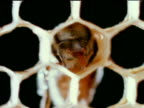 Worker Honey Bee crawling into comb cell XCU w/ worker standing in cell cleaning walls w/ proboscis XCU Worker Honey Bee crawling out back into cell...