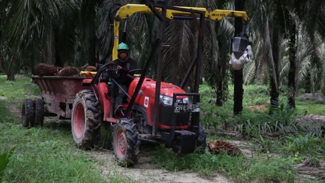 A worker right walks ahead of a trailer carrying palm oil fruit bunches at the Bukit Senorang palm oil plantation owned by United Malacca Bhd in...