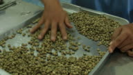 Workers are selected coffee beans.