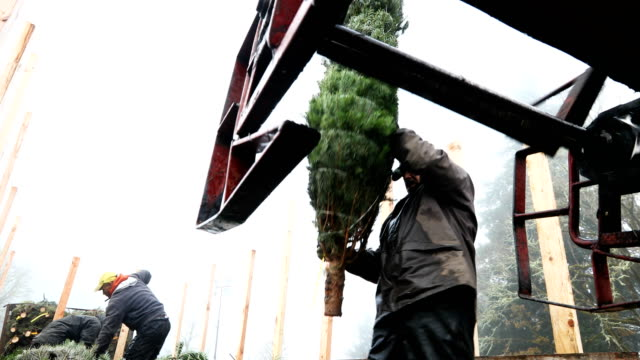 Workers at Holiday Tree Farms load freshly harvested Christmas trees onto a truck at the Beaver Creek shipping yard on November 18 2017 in Philomath...