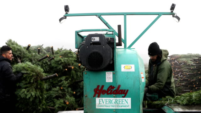 Workers at Holiday Tree Farms tie up freshly harvested Christmas tree onto a pile of trees that are prepared to be shipped at the Beaver Creek...