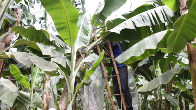 Workers at the harvesting work of banana punches at the plantation