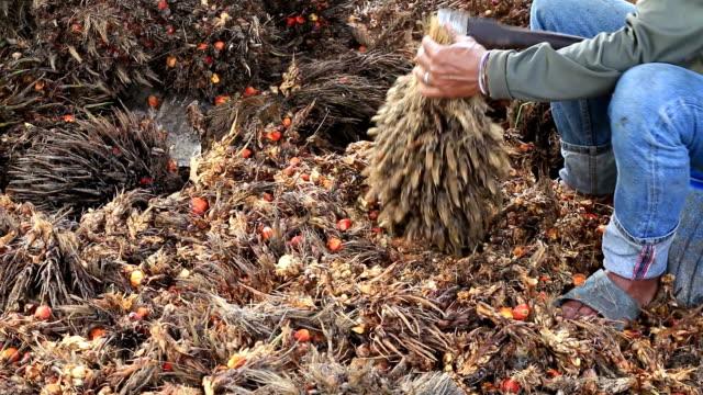 Arbeitnehmer geschnitten ausgewählten Palmöl Früchte.