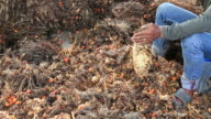 Workers chopped selected palm oil fruits.