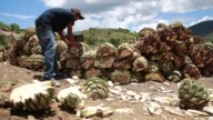 Workers dig a hole for a wood oven as part of the distilling process for turning agave into mezcal tequila in Oaxaca City Mexico on August 19th...