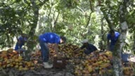 Workers harvest cocoa fruit at Paineiras Farm from M Libanios Group about 150 km from Ilheus Bahia Brazil on Thursday May 28th 2015 Shots A worker...