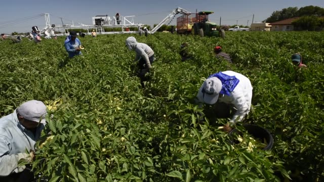 Workers harvest peppers on the Uesugi Farm in Byron California US on Thursday July 16 2015 Shots wide shots of workers picking peppers and placing...